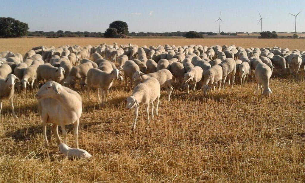 ovejas pastando en secarral