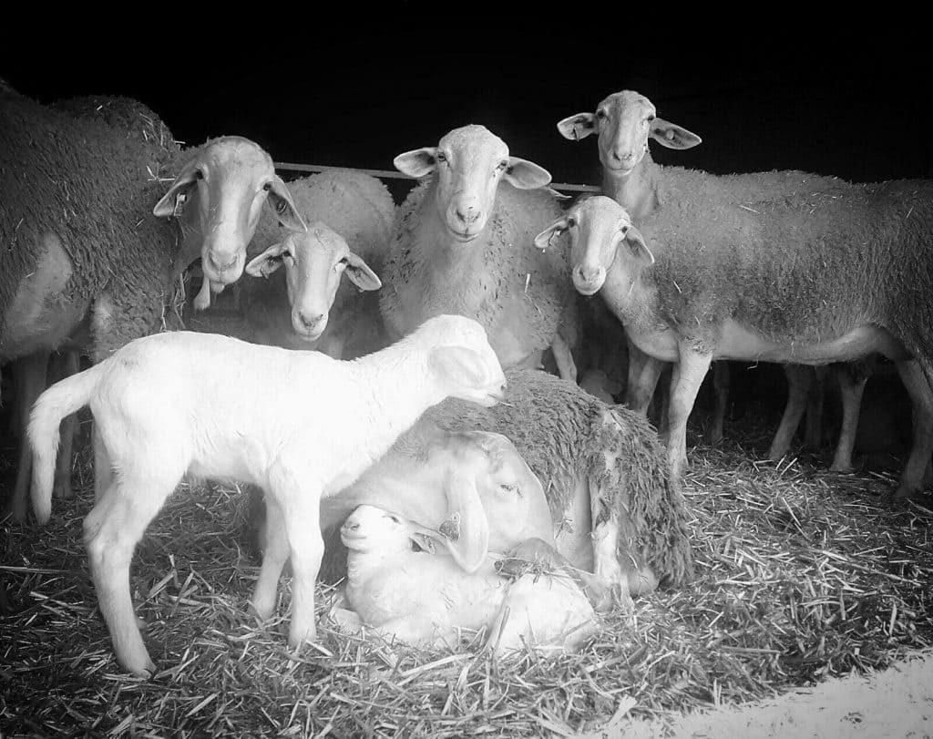 ovejas de la ganaderia rodanoble